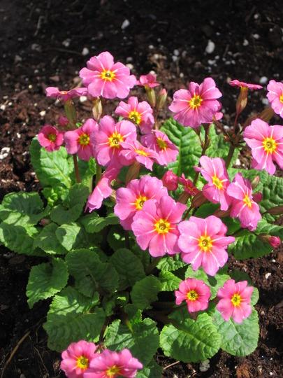 primrose (Primula vulgaris (Native primrose))