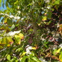 Coffea arabica - Coffee Tree Flowers and Fruit (Coffea arabica - Coffee Tree)