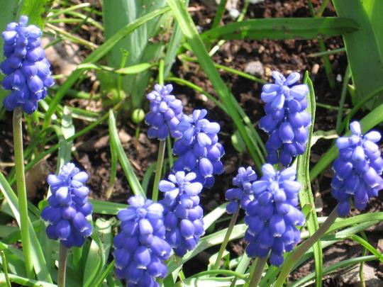 grape hyacinth (Muscari armeniacum (Grape hyacinth))