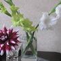 Green and white gladioli (Gladioli laguna)