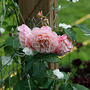 Leander (Rosa 'Leander')