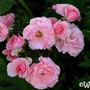 Bonica (Rosa 'Bonica')
