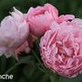 Mary Rose (Rosa 'Mary Rose')