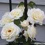 Schneewaltzer (Rosa 'Schneewaltzer')