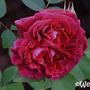 'William Shakespeare' (Rosa 'William Shakespeare')