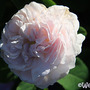 Maiden's Blush (Rosa 'Maidens Blush')