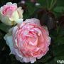 Eden Rose (Rosa 'Eden Rose')