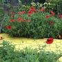 Poppies2.5.8.07