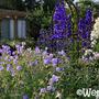 Clematis recta, Geranium ruprechtii and Delphinium 'Blue' (Clematis recta)