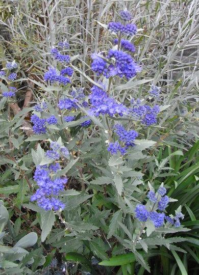caryopteris x clandonensis 39 heavenly blue 39 2010 grows. Black Bedroom Furniture Sets. Home Design Ideas