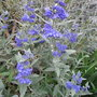 Caryopteris_x_clandonensis_heavenly_blue_2010