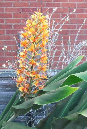 Hedychium 'Tara' - 2010 (Hedychium 'Tara')