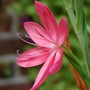 schizostylis coccinea (Schizostylis coccinea (Kaffir Lily))