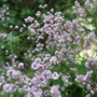 Thalictrum delavayi 'Hewitt's Double' (Thalictrum delavayi (Meadow rue))