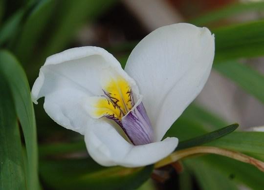 Diplarrhena Latifolia (Diplarrhena Latifolia)
