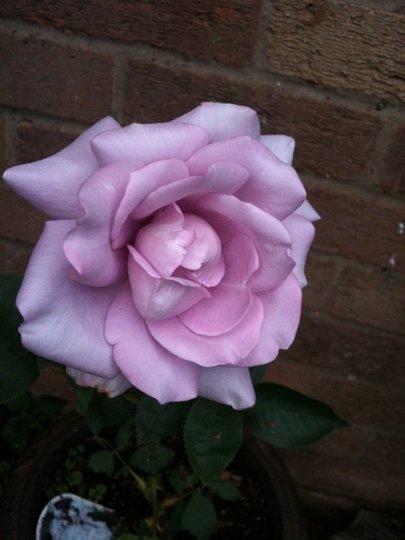 Mum's Rose ('Blue Moon')