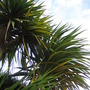Cabbage Tree 1 (Cordyline australis)