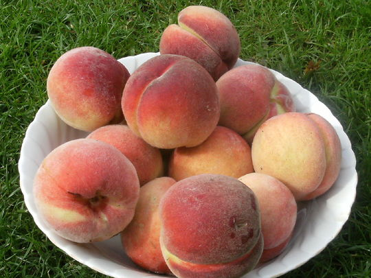 Peaches freshly picked this morning
