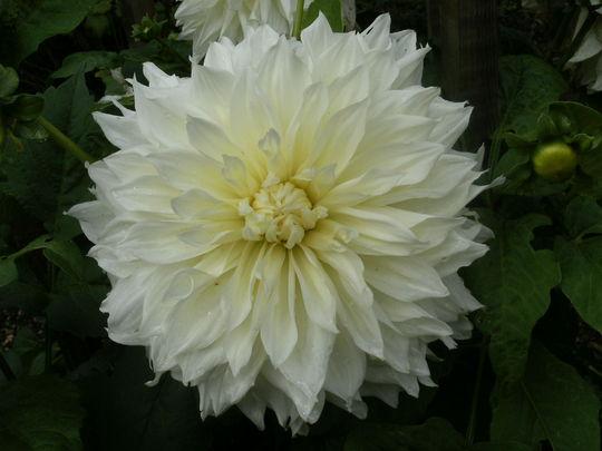 Dahlia  ' Fleur '