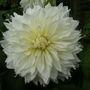 Dahlia_fleur_1