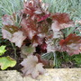 Heuchera looking for a name