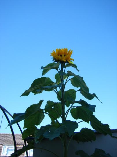 10ft sunflower