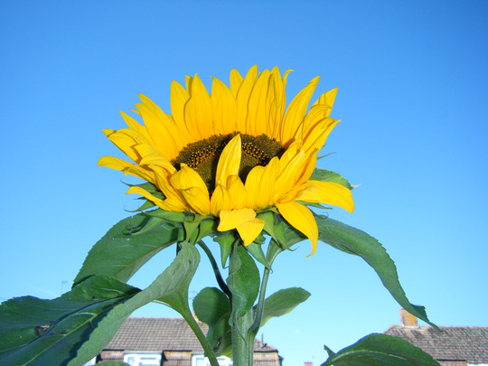 Giant Sunflowers