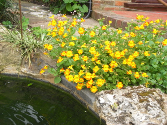 Musk by the pond. (Mimulus)