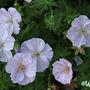 Geranium sanguineum 'Apfelblüte' (Geranium sanguineum 'Apfelblüte')
