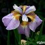 Iris hookeri 'Monstrosa' (Iris hookeri 'Monstrosa')
