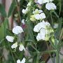 Lathyrus latifolius 'White Pearl' (Lathyrus latifolius 'White Pearl' (Everlasting pea))