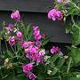 Lathyrus latifolius 'Pink Pearl' (Lathyrus latifolius 'Pink Pearl')