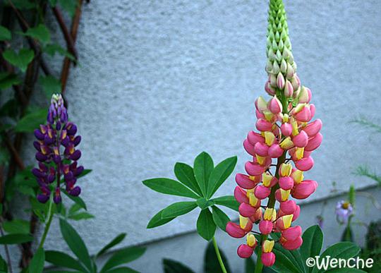 Lupinus 'Tutti Frutti' (Lupinus hybridus 'Tutti Frutti')