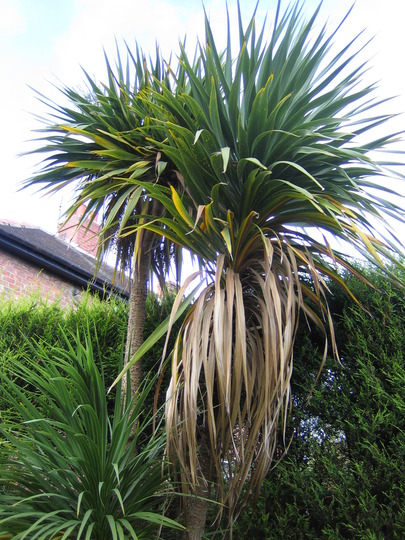Cabbage Tree 2 (Cordyline australis)