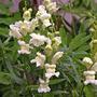 Antirrhinum majus alba (Antirrhinum majus alba)