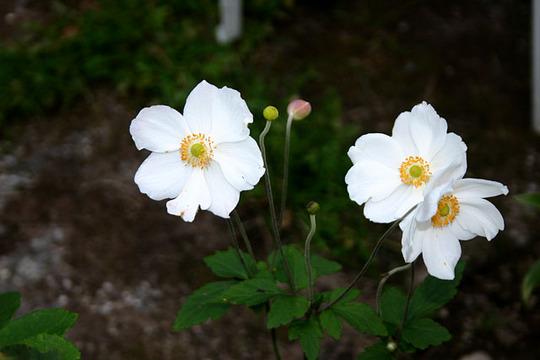 Anemone hupensis 'Honorine Jobert' (Anemone hupensis 'Honorine Jobert')