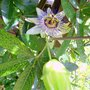 PASSION FLOWER AND FRUIT