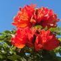Spathodea campanulata - African Tulip Tree Flowers (Spathodea campanulata - African Tulip Tree Flowers)