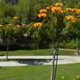Spathodea campanulata 'aurea' - Golden/Yellow African Tulip Trees (Spathodea campanulata 'aurea')
