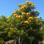Spathodea campanulata 'aurea' - Golden/Yellow African Tulip Tree (Spathodea campanulata 'aurea' - Golden/Yellow African Tulip Tree)