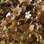 Geranium 'Rothbury Red' (Geranium)