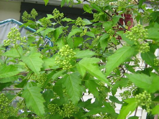 Blossom of Amur Maple...smells as sweet as lilacs (Acer ginnala)