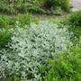 Artemisia ludoviciana 'silver queen'  great in moonlight. (Artemisia ludoviciana (Western mugwort))