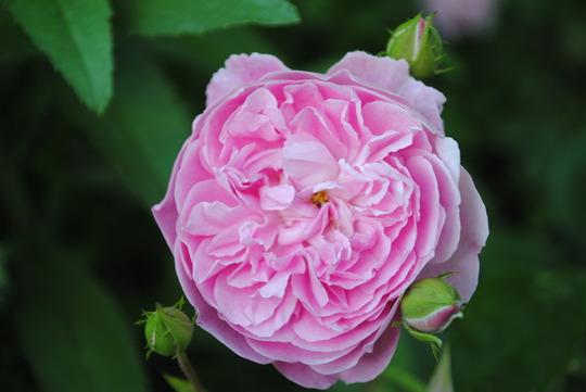 Rose - Harlow Carr (Rosa)