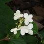 Viburnum plicatum 'Maresii' (Viburnum plicatum 'Maresii')