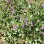 Chaenorhinum_origanifolium
