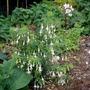Fuchsia_magellanica_alba