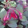 Fuchsia_thalia_