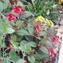 Sweet_peas_fuchsia_coleus_gazanias