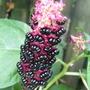 Phytolacca americana berries. (Phytolacca americana)
